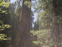 Giant Sequoia And Sun Rays