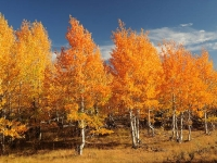 Aspens On Steens Mountain