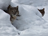 Two Bobcats Male And Female Winter Den