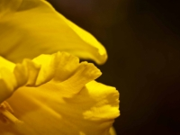 Daffodil Up Close