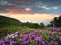 Craggy Blooms - Rhododendron At Sunset