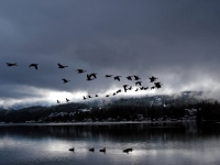 Birds Over The Lake