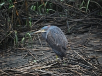 Molting Blue Heron