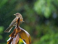 Clay Colored Robin & Rain
