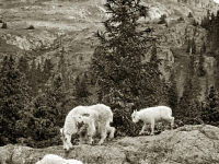 Chicago Basin Mountain Goat