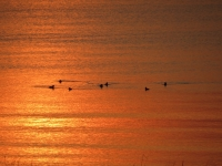 Sunrise With The Ducks Over The Bay Of Chaleur