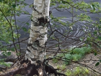 Swirl & Birch Tree, East Branch Of The Penobscot River