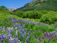 Lupine Delight