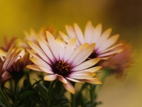 African Daisies Wrapped In A Golden Glow