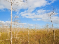 Bald Cypress In The Everglades