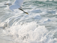 Snowy Egret Over Surf