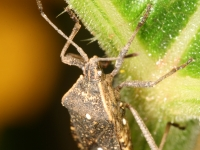 Squash Bug Underneath Squash Leaf