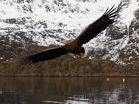 Sea Eagle - Lofoten
