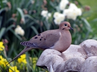 Mourning Dove At Birdbath