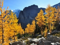 Alpine Larch Trees And Sheol Mountain