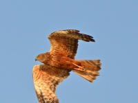 A Marsh Harrier Hovers Over The Chobe River