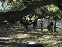 Largest Liveoak In Texas