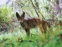 Spring Coyote