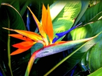 A Tropical Beauty, The Bird Of Paradise Bloom!