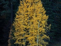 Aspen Trees, Mt Lemmon