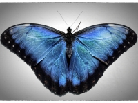 Stunning Blue Wings