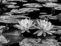 Lily Pads With A Tryst