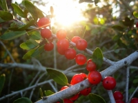 Holly Tree And Sunlight