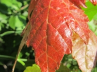 Red Maple Leaf At A Florida Park2