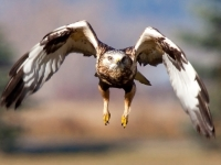 Rough-legged Hawk In Flight
