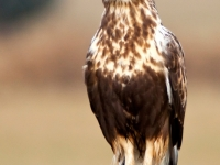 Rough-legged Hawk Perched