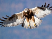 Rough-legged Hawk Hunting