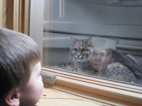 Bobcat Vs Boy,who Wants In And Who Wants Out?