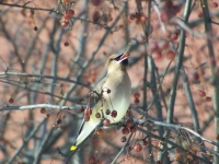 Bohemian Waxwing Eating