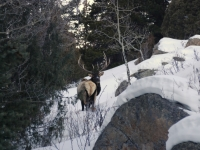 Rocky Mountain Elk Foraging