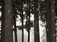 Snow Falling In Pine Forest
