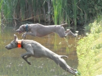 Weims Showing Off