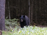 Michigan Black Bear
