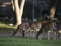 White Tail Fawn With Does And A Buck Eating Grass