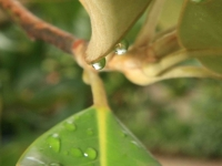 Drops On A Magnolia Branch