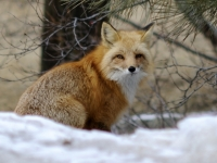 Timid Red Fox