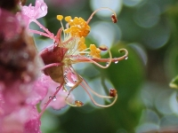 Secrets Of A Crepe Myrtle
