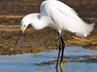 Ft. Pickens - Snowy Egret