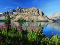 Fireweed And Bow Lake