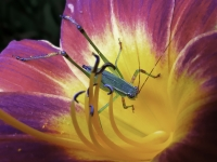 Katydid In The Daylily