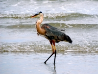 Old Blue Heron Of The Sea