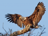 American Bald Eagle Lands Near Its Nest