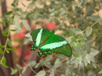 Neon Green Swallowtail Butterfly