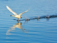 Trumpeter Swan Attempting Take-Off