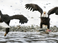 Bald Eagles Face Off Over Salmon