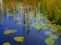 Reeds And Lilly Pads